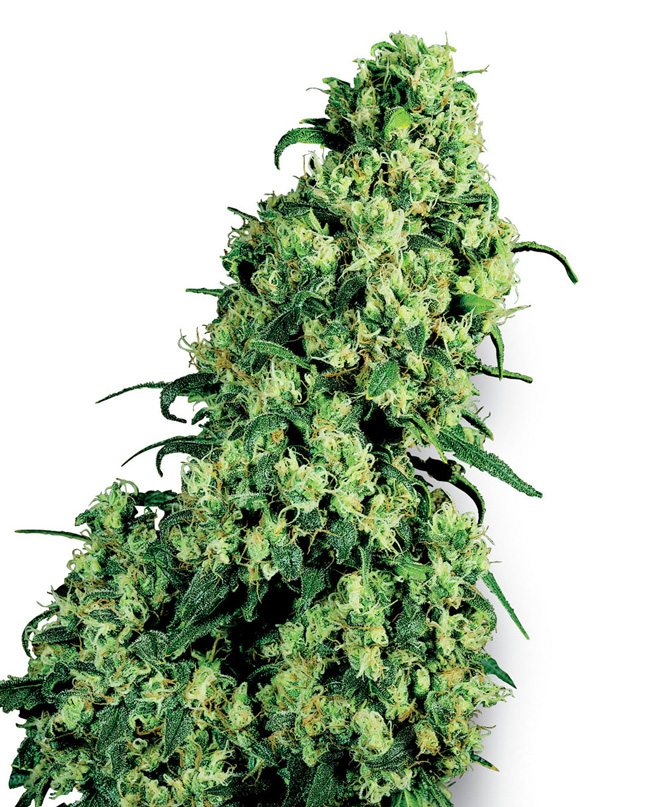 Buy Skunk #1 Fem Online | kunk #1 Fem for sale | kunk #1 Fem