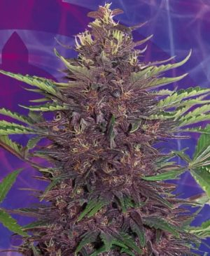 Buy Purple Kush Feminized online | Purple Kush Feminized for sale | Pur.F
